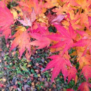 Japanese Maple Fall Color