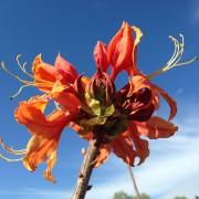 Native Azalea - Maple Valley